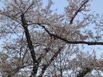 1004_桜カフェ桜.JPG